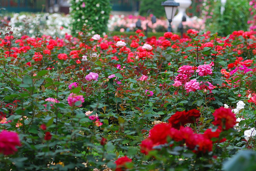 trandafiri-1carei[1].jpg